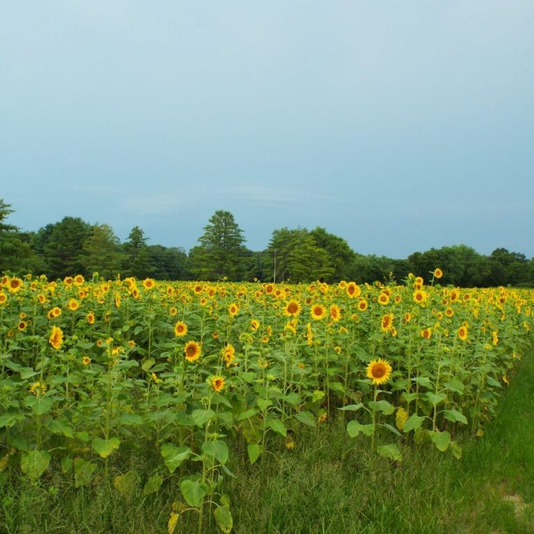 Photos by Christy Porter The George O. White State Forest Nursery is abounding with three acres of blooming and budding sunflowers (above). The sunflowers are plotted in the same block as last year's blooms. (Below) And then you have the little sunflower that wants to be different, and faces the opposite direction. We hope it's not in time-out. The George O. White Nursery is located at 14031 Shafer Road.